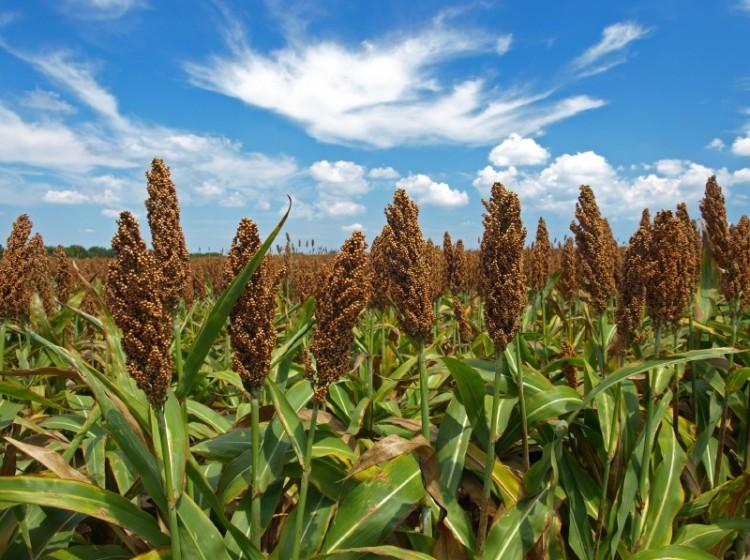 Καλλιέργεια Σόργου | Αγροσύμβουλος Ο.Ε.