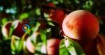Καλλιέργεια Ροδακινιάς