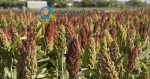 Καλλιέργεια Σόργου