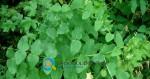 Καλλιέργεια Βίκου | Εποχή Σποράς