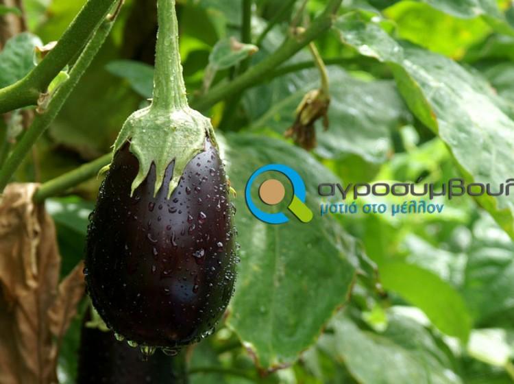 Καλλιέργεια Μελιτζάνας | Αγροσύμβουλος