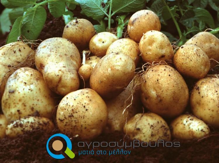Καλλιέργεια Πατάτας | Αγροσύμβουλος