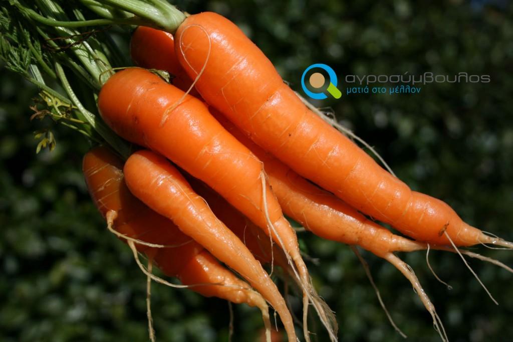 Καλλιέργεια Καρότου | Αγροσύμβουλος