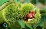 Καλλιέργεια Καστανιάς | Καλλιεργητικές Τεχνικές