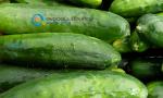 Καλλιέργεια Αγγουριού | Καλλιεργητικές Τεχνικές