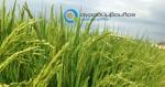 Καλλιέργεια Ρυζιού | Καλλιεργητικές Τεχνικές