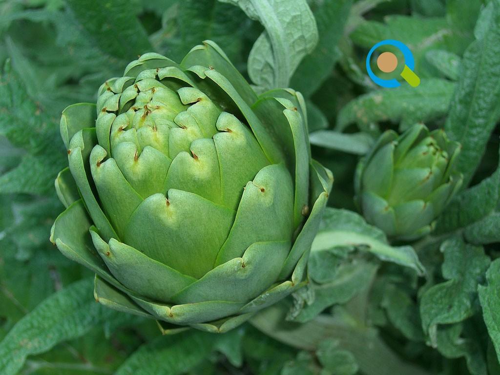 Καλλιέργεια Αγκινάρας | Αγροσύμβουλος