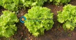 Καλλιέργεια Μαρουλιού | Καλλιεργητικές Τεχνικές