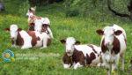 Συνδεδεμένες Ενισχύσεις Ζωικής Παραγωγής | Νέα ΚΑΠ