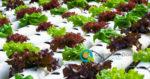 Υδροπονική καλλιέργεια φυτών