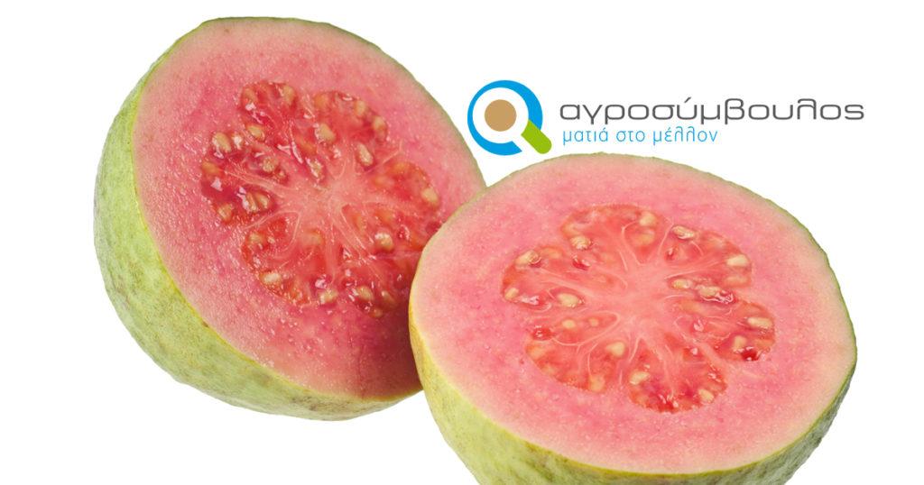 kalliergeia Guava