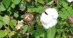 Εχθροί της καλλιέργειας του βαμβακιού