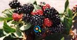 Καλλιέργεια Βατόμουρων | Καλλιεργητικές Τεχνικές