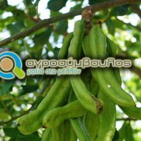 Καλλιέργεια Χαρουπιάς | Χρήσεις